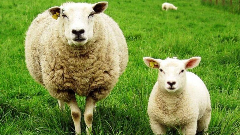 кормление коз и овец